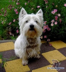 West Highland White Terrier, pes (2,5 roku)