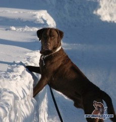 Chesapeake Bay Retriever, pes (3 roky)
