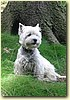 West Highland White Terrier, pes (6 let)